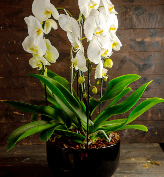 ¿Cómo cuidar una orquídea Phalaenopsis?