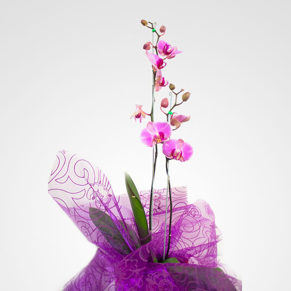 planta orquidea phalaenopsis tres tallos floreria bogota