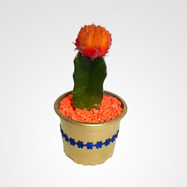 suculenta cactus floristeria bogota