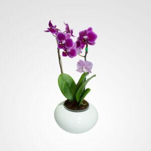 mini orquidea phalaenopsis floreria bogota